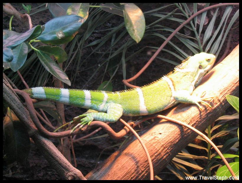 fijian_crested_iguana