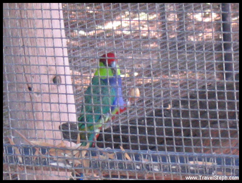 red_capped_parrot